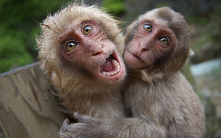 Animals-monkeys-hd-wallpapers