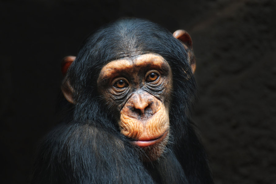 Chimp_portrait