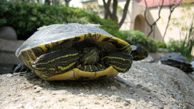 Turtle_in_shell