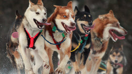 Sled_dogs