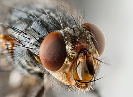 1200px-sarcophagid_fly_portrait