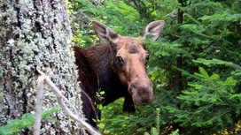 Moose-behind-tree