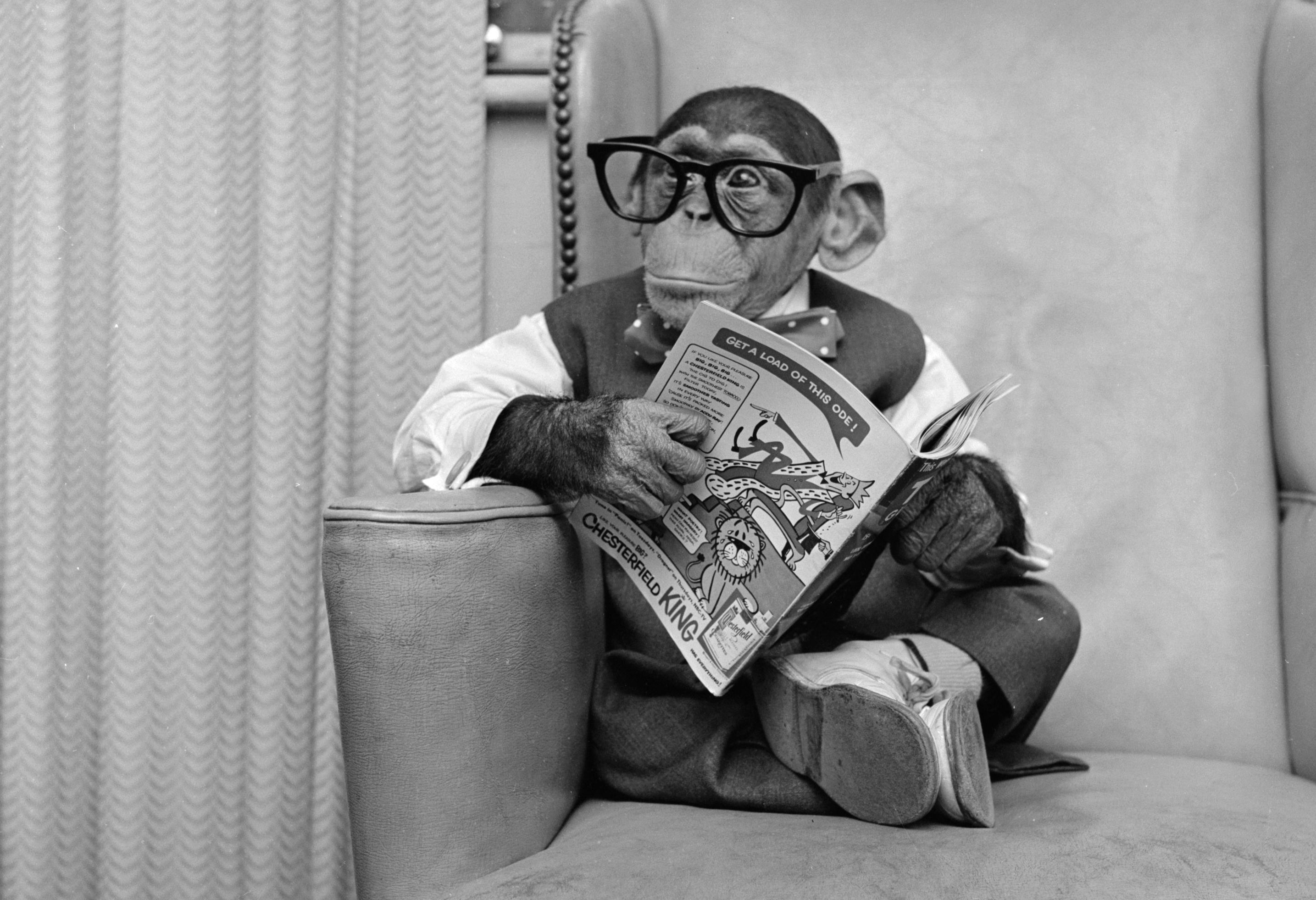 Chimp reading