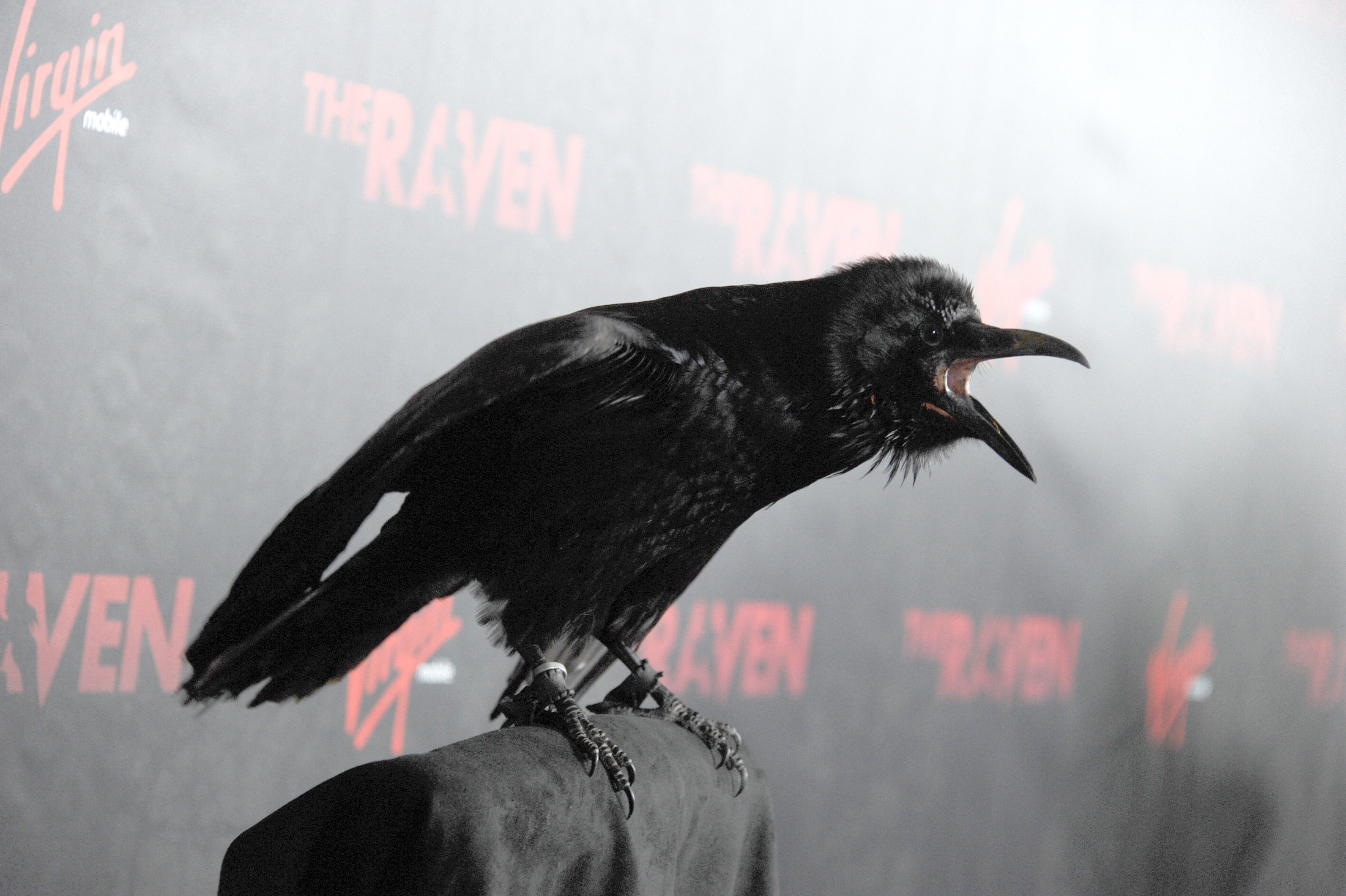 What are the smartest animals on the planet big think raven at premiere biocorpaavc