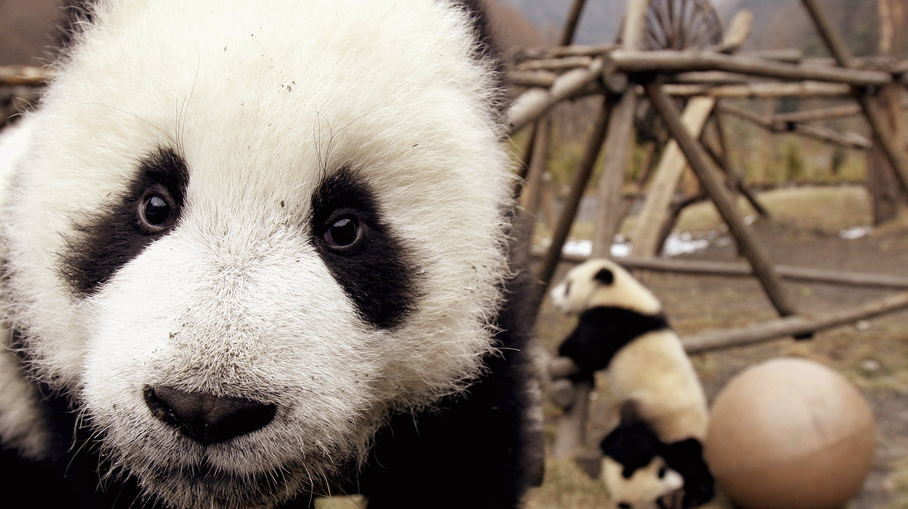 Giant Pandas Play At The Wolong Giant Panda Bear Research Center  (Photo by China Photos/Getty Images)