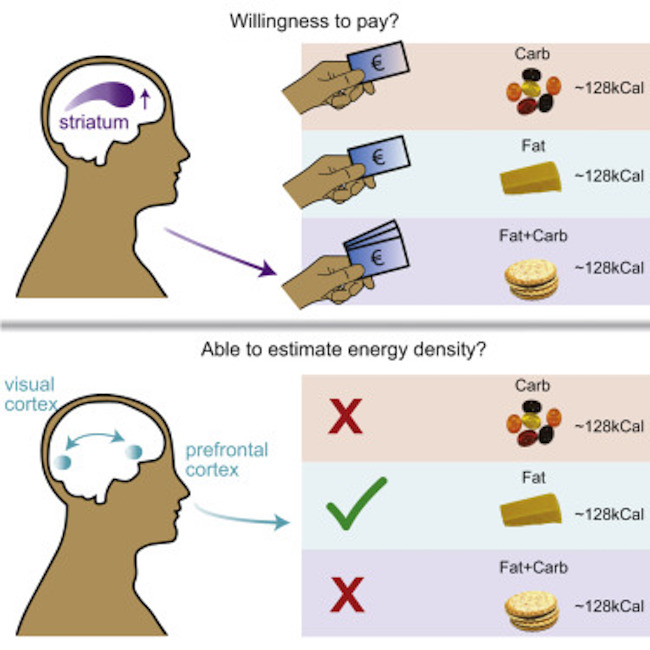Our Brains Have Evolved to Want High Fat, High Carb Foods